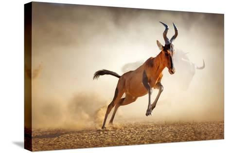 Red Hartebeest Running in Dust - Alcelaphus Caama - Kalahari Desert - South Africa-Johan Swanepoel-Stretched Canvas Print