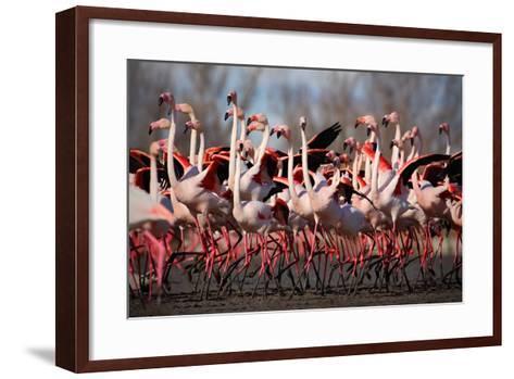 Flock of Greater Flamingo, Phoenicopterus Ruber, Nice Pink Big Bird, Dancing in the Water, Animal I-Ondrej Prosicky-Framed Art Print