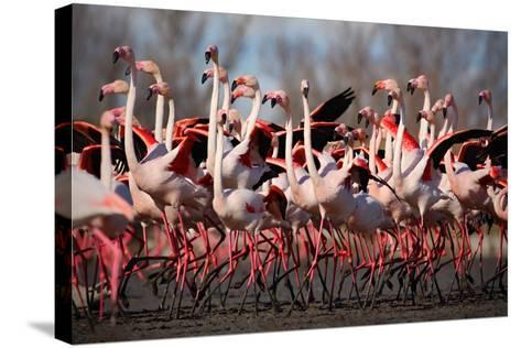 Flock of Greater Flamingo, Phoenicopterus Ruber, Nice Pink Big Bird, Dancing in the Water, Animal I-Ondrej Prosicky-Stretched Canvas Print