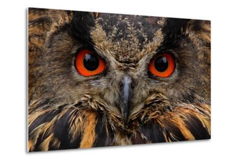 Detail Face Portrait of Bird, Big Orange Eyes and Bill, Eagle Owl, Bubo Bubo, Rare Wild Animal in T-Ondrej Prosicky-Metal Print