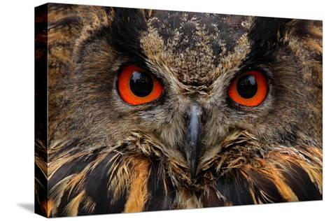 Detail Face Portrait of Bird, Big Orange Eyes and Bill, Eagle Owl, Bubo Bubo, Rare Wild Animal in T-Ondrej Prosicky-Stretched Canvas Print