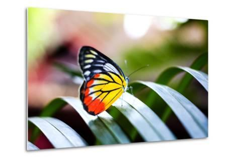 Colorful Butterfly Resting on the Palm Tree Leaf in Thailand.- Rrrainbow-Metal Print