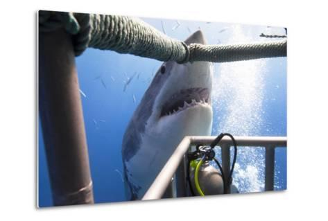 Great White Shark Showing its Teeth in Front of Divers in a Diving Cage.- VisionDive-Metal Print
