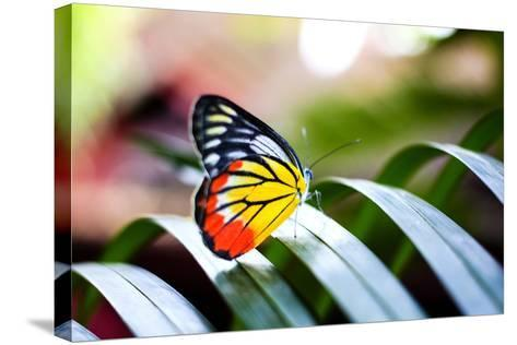 Colorful Butterfly Resting on the Palm Tree Leaf in Thailand.- Rrrainbow-Stretched Canvas Print