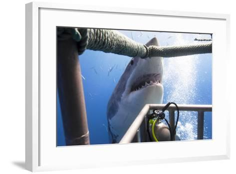 Great White Shark Showing its Teeth in Front of Divers in a Diving Cage.- VisionDive-Framed Art Print