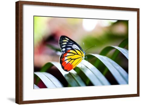 Colorful Butterfly Resting on the Palm Tree Leaf in Thailand.- Rrrainbow-Framed Art Print