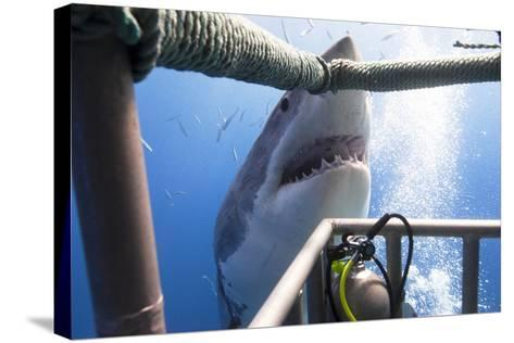 Great White Shark Showing its Teeth in Front of Divers in a Diving Cage.- VisionDive-Stretched Canvas Print