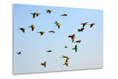 Macaw and Sun Conure Flock of Flying in the Sky.- jeep2499-Metal Print