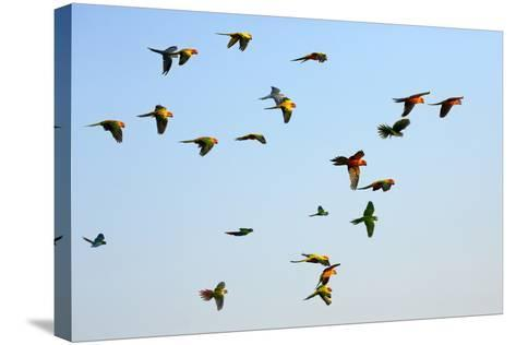 Macaw and Sun Conure Flock of Flying in the Sky.- jeep2499-Stretched Canvas Print
