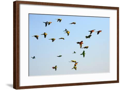 Macaw and Sun Conure Flock of Flying in the Sky.- jeep2499-Framed Art Print