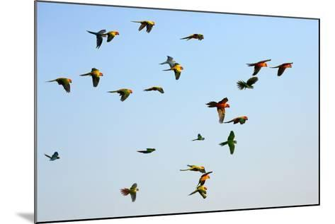 Macaw and Sun Conure Flock of Flying in the Sky.- jeep2499-Mounted Photographic Print