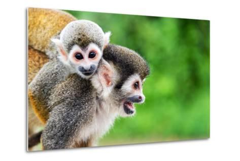 Two Squirrel Monkeys, a Mother and Her Child in the Amazon Rainforest near Leticia, Colombia-Jess Kraft-Metal Print