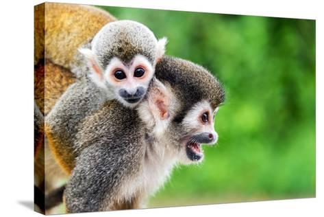 Two Squirrel Monkeys, a Mother and Her Child in the Amazon Rainforest near Leticia, Colombia-Jess Kraft-Stretched Canvas Print