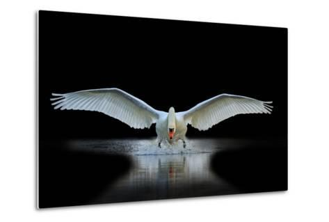 Swan with Open Wings, a Unique Moment, Spring Courtship- Drakuliren-Metal Print