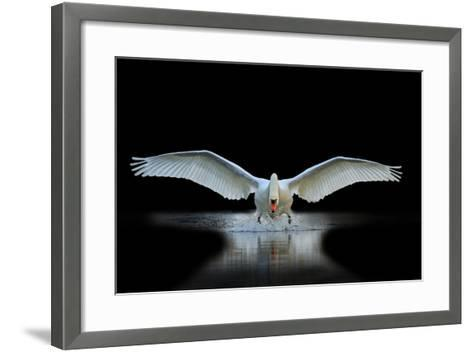 Swan with Open Wings, a Unique Moment, Spring Courtship- Drakuliren-Framed Art Print