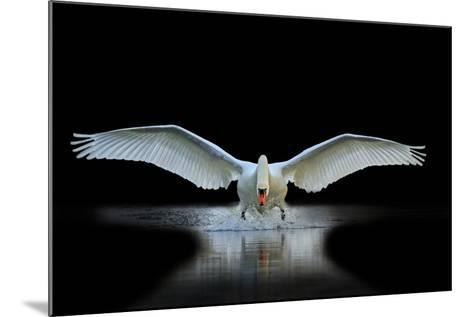 Swan with Open Wings, a Unique Moment, Spring Courtship- Drakuliren-Mounted Photographic Print