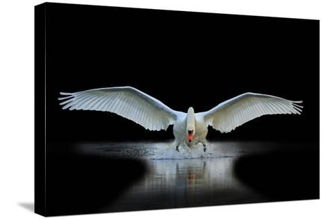 Swan with Open Wings, a Unique Moment, Spring Courtship- Drakuliren-Stretched Canvas Print