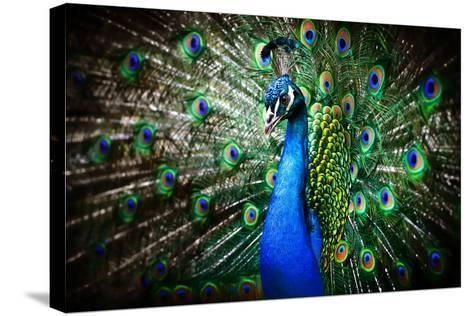 Portrait of Beautiful Peacock with Feathers Out-Drop of Light-Stretched Canvas Print