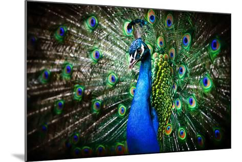 Portrait of Beautiful Peacock with Feathers Out-Drop of Light-Mounted Photographic Print