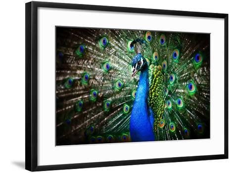 Portrait of Beautiful Peacock with Feathers Out-Drop of Light-Framed Art Print