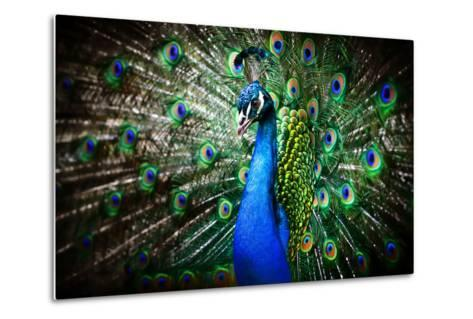 Portrait of Beautiful Peacock with Feathers Out-Drop of Light-Metal Print