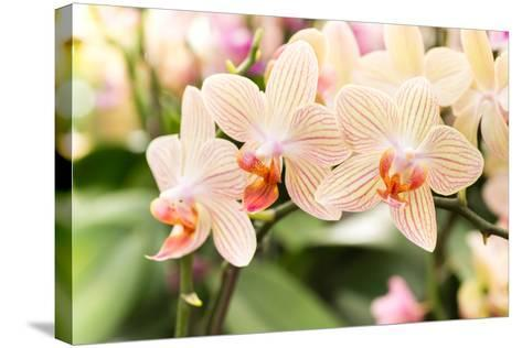 Streaked Orchid Flowers. Beautiful Orchid Flowers.- pojvistaimage-Stretched Canvas Print
