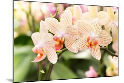 Streaked Orchid Flowers. Beautiful Orchid Flowers.- pojvistaimage-Mounted Photographic Print