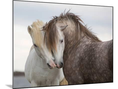 A Pair of Horses Kissing with their Heads Leaning on One Another- Tim_Booth-Mounted Photographic Print