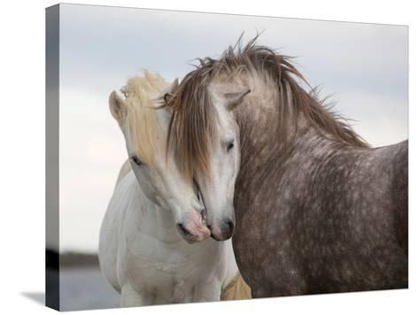 A Pair of Horses Kissing with their Heads Leaning on One Another- Tim_Booth-Stretched Canvas Print