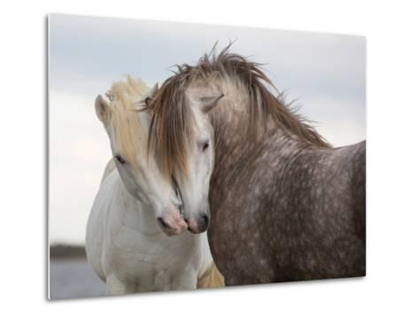 A Pair of Horses Kissing with their Heads Leaning on One Another- Tim_Booth-Metal Print