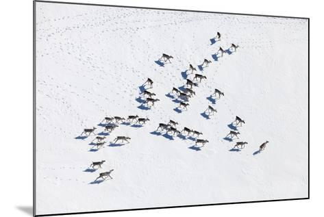 Aerial View of Herd of Reindeer, Which Ran on Snow in Tundra.-Vladimir Melnikov-Mounted Photographic Print