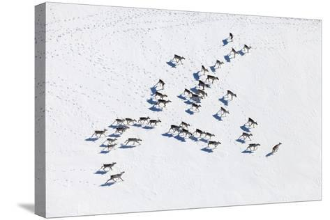 Aerial View of Herd of Reindeer, Which Ran on Snow in Tundra.-Vladimir Melnikov-Stretched Canvas Print