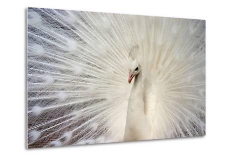 White Peacock-Richard F Cox-Metal Print