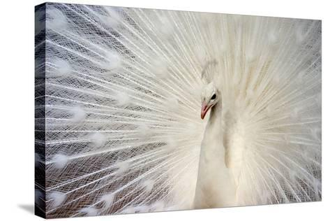 White Peacock-Richard F Cox-Stretched Canvas Print