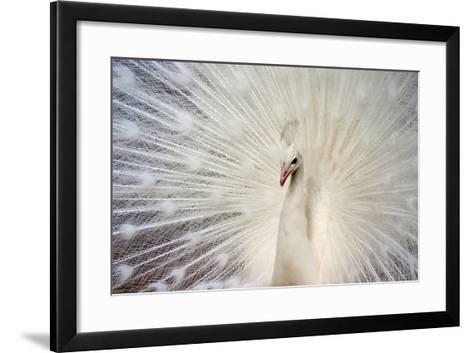 White Peacock-Richard F Cox-Framed Art Print