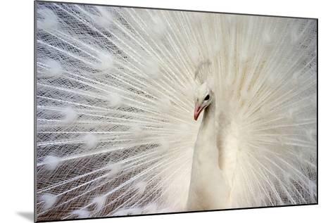 White Peacock-Richard F Cox-Mounted Photographic Print