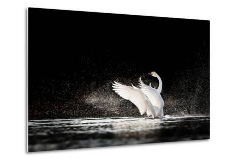Swan Rising from Water and Splashing Silvery Water Drops Around-Tero Hakala-Metal Print