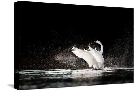 Swan Rising from Water and Splashing Silvery Water Drops Around-Tero Hakala-Stretched Canvas Print