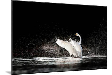 Swan Rising from Water and Splashing Silvery Water Drops Around-Tero Hakala-Mounted Photographic Print