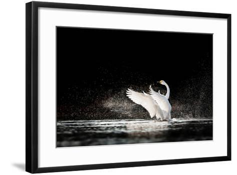 Swan Rising from Water and Splashing Silvery Water Drops Around-Tero Hakala-Framed Art Print