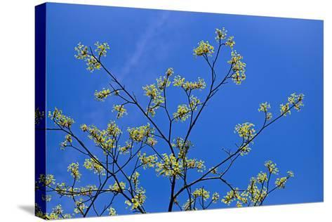 Maple Flowers-Cora Niele-Stretched Canvas Print