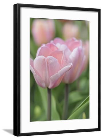 Tulip Flower Baronesse-Cora Niele-Framed Art Print