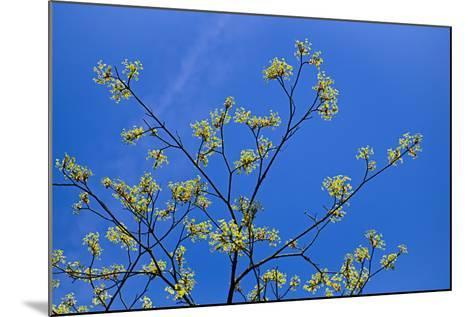 Maple Flowers-Cora Niele-Mounted Photographic Print