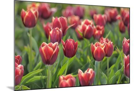 Tulip Field Papillon-Cora Niele-Mounted Photographic Print
