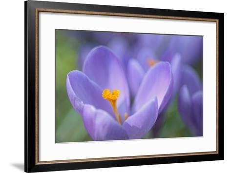 Purple Crocus-Cora Niele-Framed Art Print