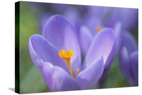 Purple Crocus-Cora Niele-Stretched Canvas Print