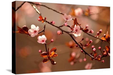 Beautiful Flowering Japanese Cherry - Sakura.- Montypeter-Stretched Canvas Print