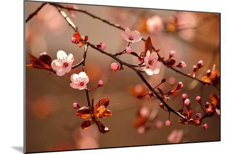 Beautiful Flowering Japanese Cherry - Sakura.- Montypeter-Mounted Photographic Print