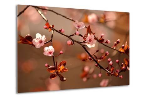 Beautiful Flowering Japanese Cherry - Sakura.- Montypeter-Metal Print
