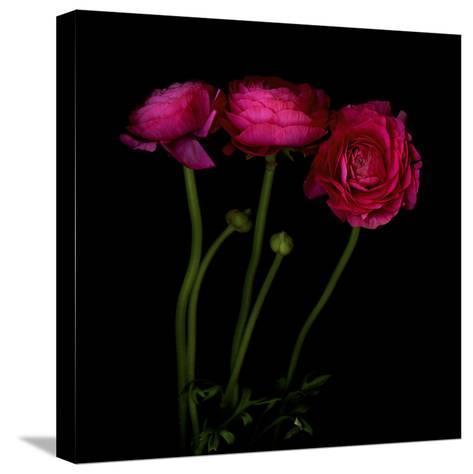 Trois Belles - Ranunculus-Magda Indigo-Stretched Canvas Print